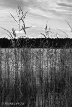 Lake reeds